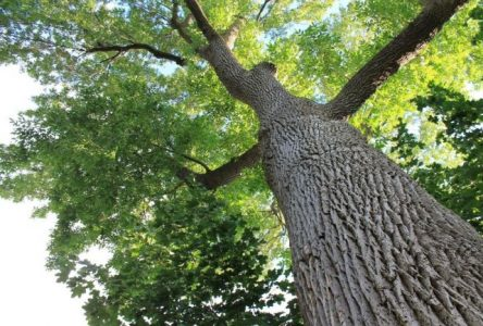 Boucherville réserve une enveloppe de 86 000 $ pour la lutte contre l'agrile du frêne