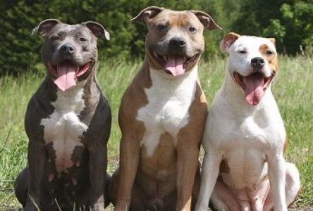 En voie d'une réglementation sur les pitbulls à Boucherville