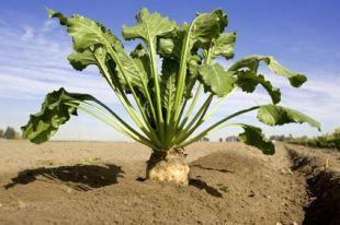 Des études afin de produire à Varennes de l'éthanol à partir de betteraves à sucre