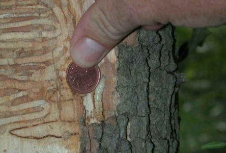 Une cinquantaine de frênes seront abattus à Boucherville à l'automne