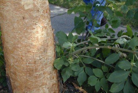 Nouvelle approche pour la lutte contre l'agrile du frêne