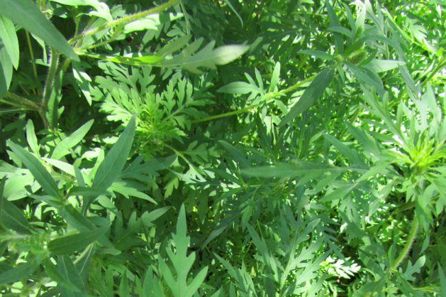 La Ville de Boucherville fait appel à votre collaboration pour contrôler l'herbe à poux
