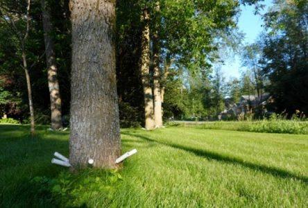 600 frênes publics seront traités contre l'agrile cet été à Boucherville