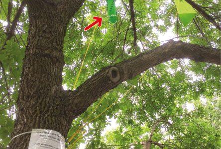 Agrile du frêne :  projet pilote de lutte à l'aide d'un champignon