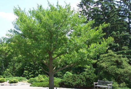 La Ville de Boucherville offre 200 arbres à ses résidents