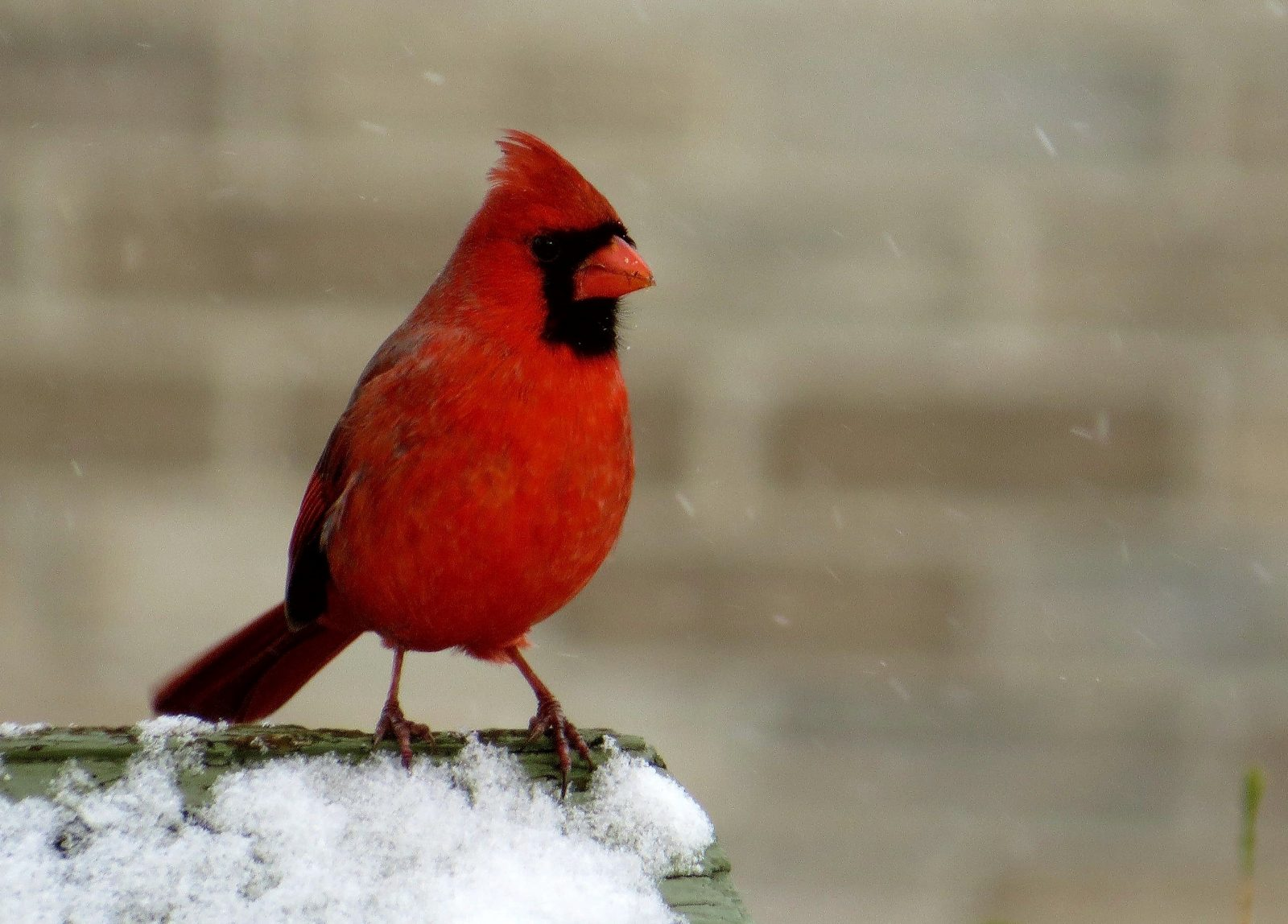 Le Cardinal rouge : l'emblème aviaire choisi par les citoyens de Contrecœur