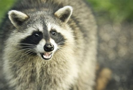 Lutte contre la rage du raton laveur – Opération de vaccination des animaux sauvages en Montérégie