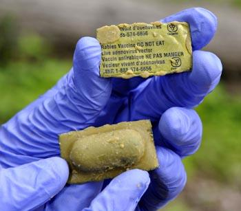 Épandage d'appâts vaccinaux contre la rage du raton laveur en Montérégie