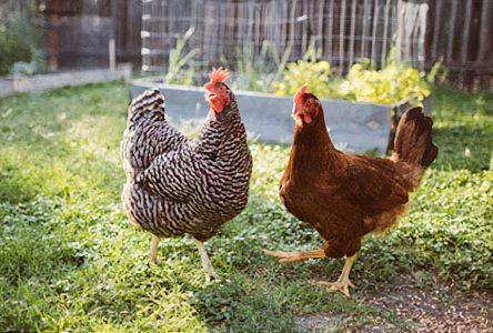 L'assemblée en bref: Des poules urbaines à Saint-Amable