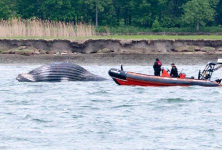 La baleine à bosse trouvée morte à la hauteur de Varennes