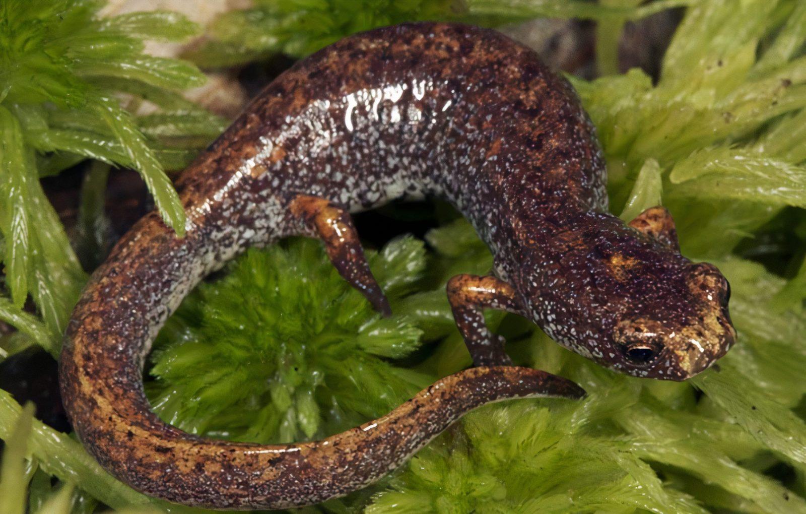 Parc régional des Grèves: À la rescousse de la salamandre à quatre orteils