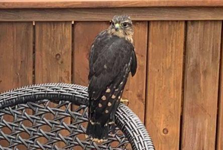 Un faucon émerillon sauvé de la noyade par une résidente de Sainte-Julie