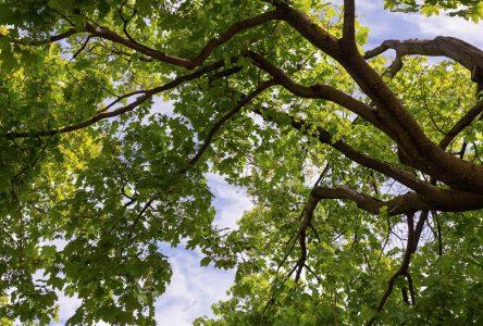 Distribution de 300 arbres à rabais à Boucherville