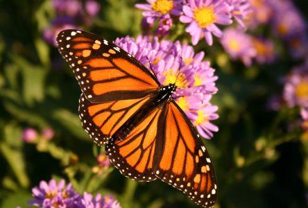 La Ville de Sainte-Julie s'engage à protéger les papillons monarques