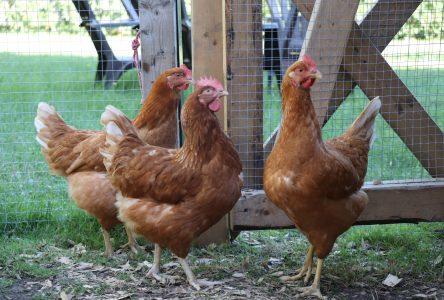 Une pétition est lancée pour avoir le droit de garder des poules urbaines