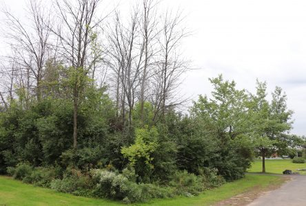 500 frênes seront remplacés par 600 arbres dans 4 parcs