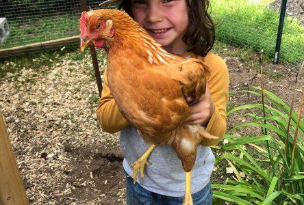 Des poules urbaines de plus en plus présentes dans les municipalités voisines de Boucherville