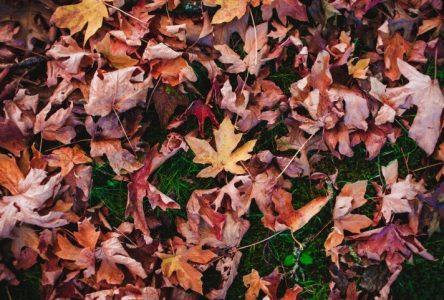 Et si vous ne ramassiez pas vos feuilles mortes cet automne à   Boucherville?