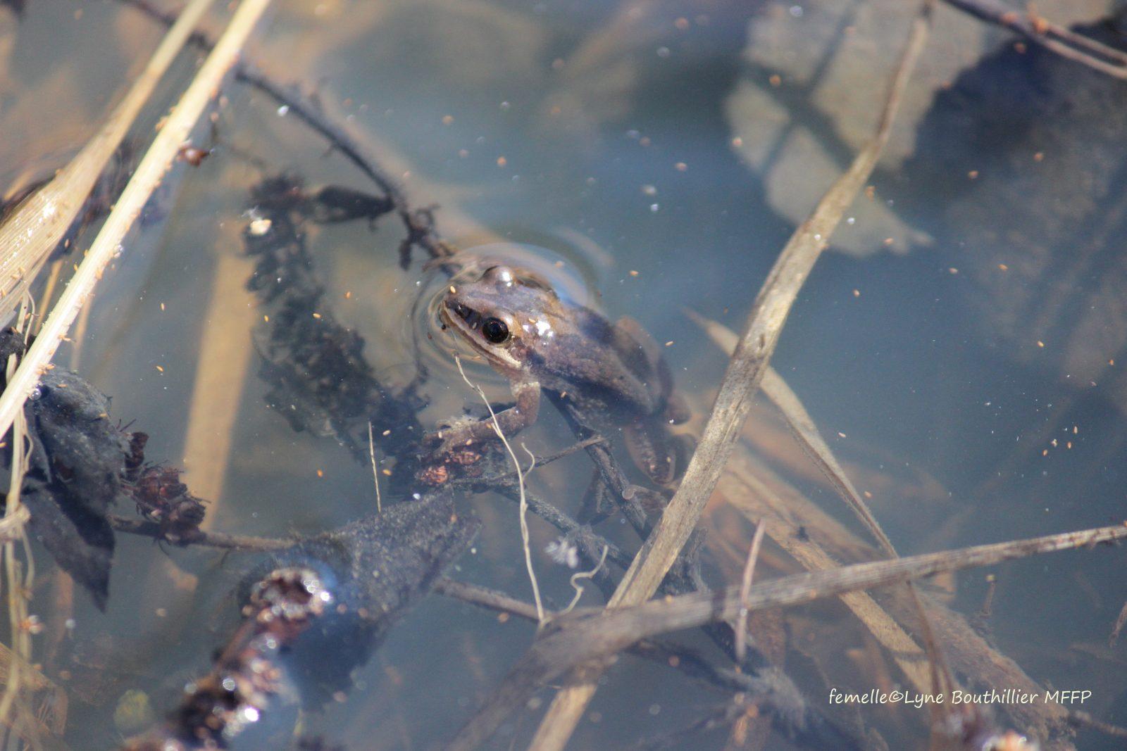 Vaste étude à Boucherville sur la rainette faux-grillon de l'Ouest, une minuscule grenouille menacée