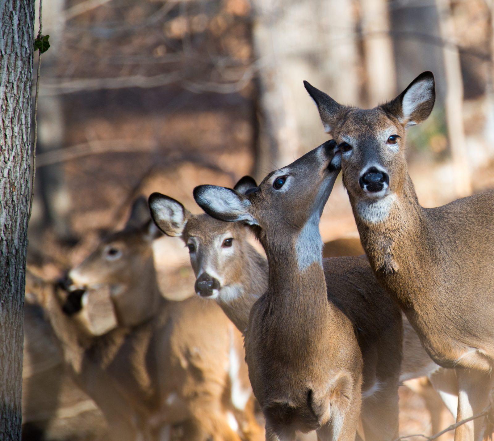 Les chevreuils du parc Michel-Chartrand: Longueuil confirme l'abattage des bêtes