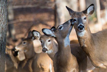 Les chevreuils du parc Michel-Chartrand ne seront finalement pas abattus