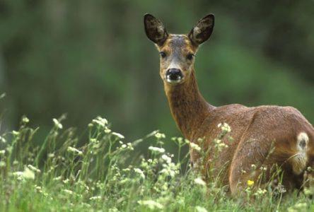 Longueuil veut capturer et euthanasier près de 50 % des chevreuils du parc Michel-Chartrand !