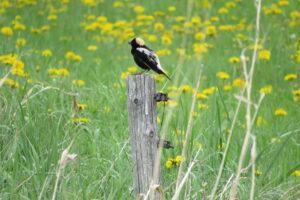 Des espèces menacées mieux protégées, sur la Rive-Sud et en Montérégie