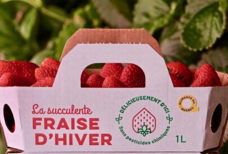 Des fraises d'hiver « made in » agglomération de Longueuil