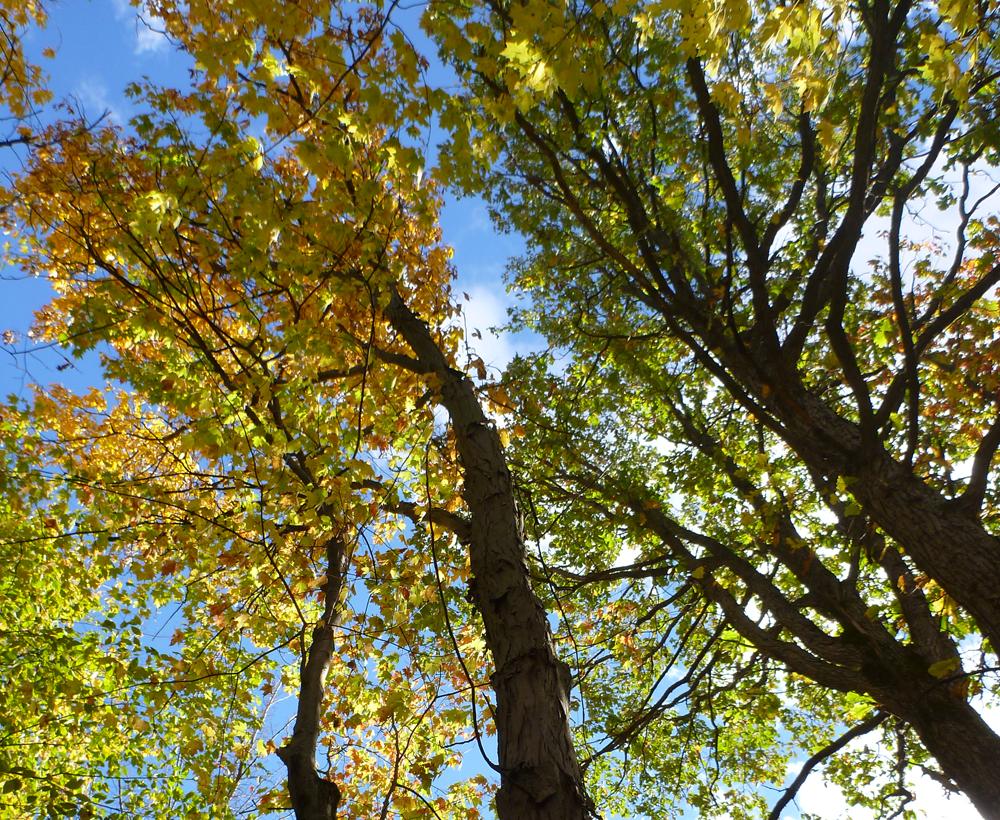 Un projet de recherche sur la résilience des arbres urbains de Boucherville et de Varennes, soutenu par Québec