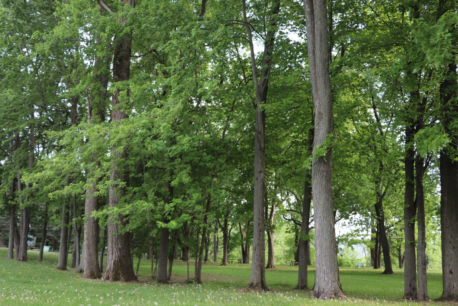 Boucherville se dote d'une Politique de l'arbre