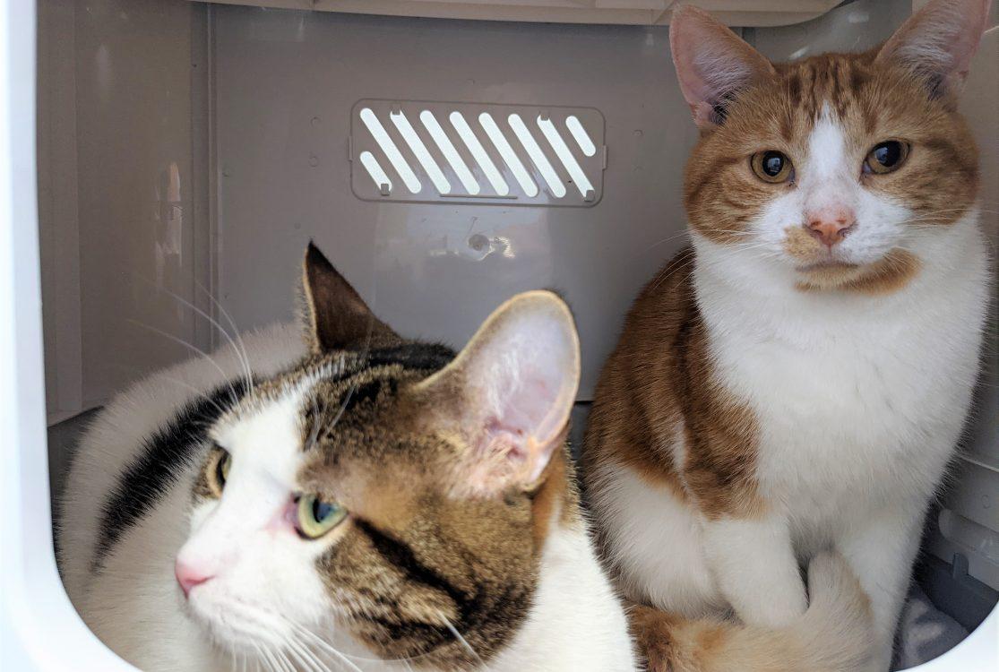 Petit couple inséparable de chats à l'adoption