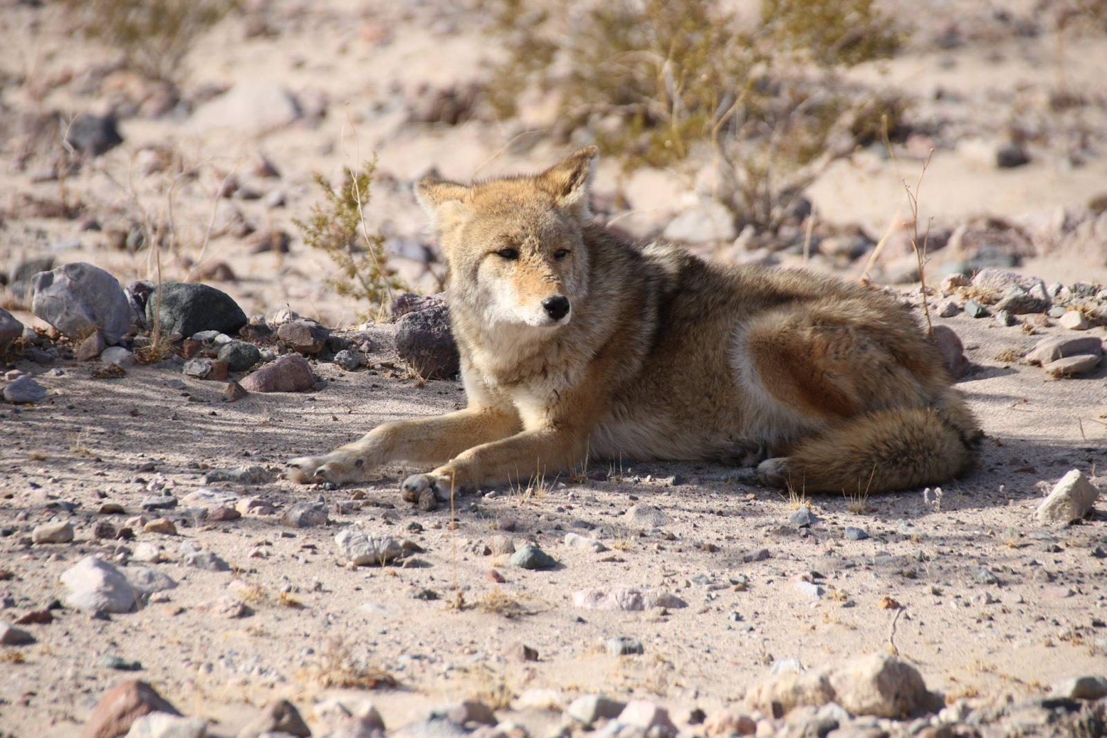 Des coyotes se pointent le museau à Contrecœur