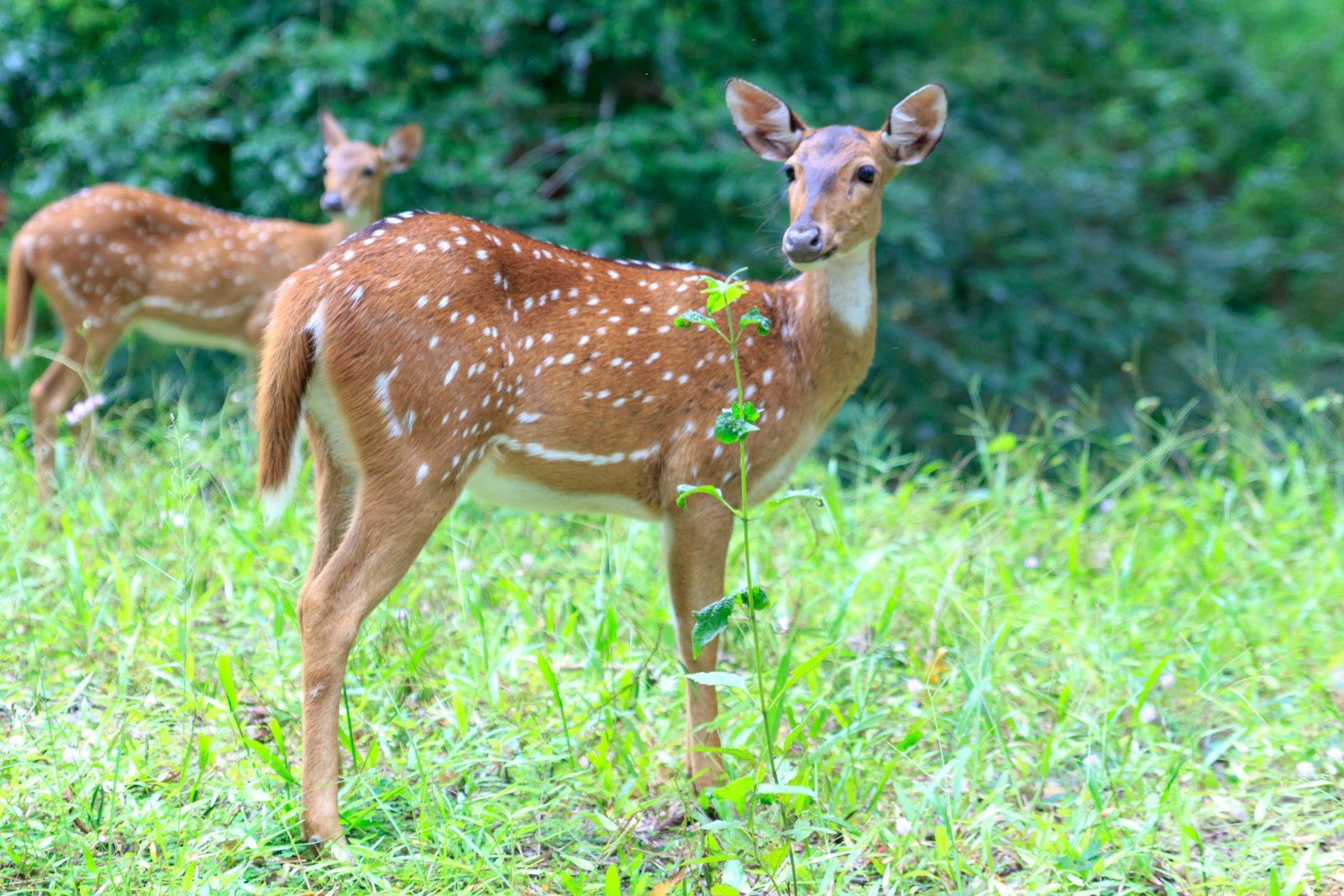 Le nombre de chevreuils aurait plus que doublé au parc Michel-Chartrand de Longueuil