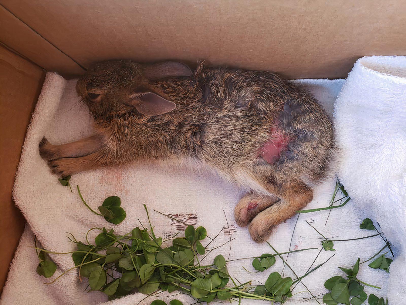 Que faire avec un lapin sauvage blessé?
